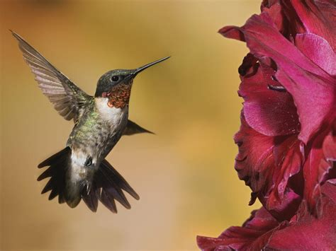 hummingbirds young gardener