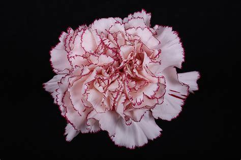 carnation color carnation color mariposa flores la union carnations