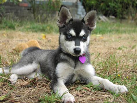 Alaskan Klee Kia Alaskan Klee Information Animals Wiki