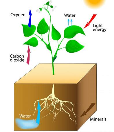 why is chlorophyll needed for photosynthesis quora