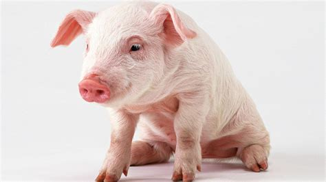 wallpaper cute pig baby pig wallpapers baby animals
