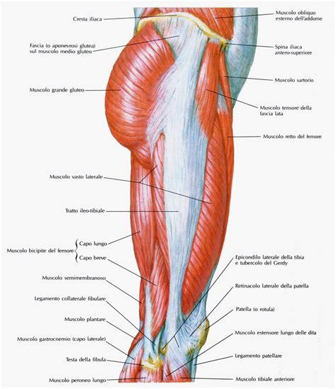 muscoli interno coscia muscolicosciavistalaterale fitnessway
