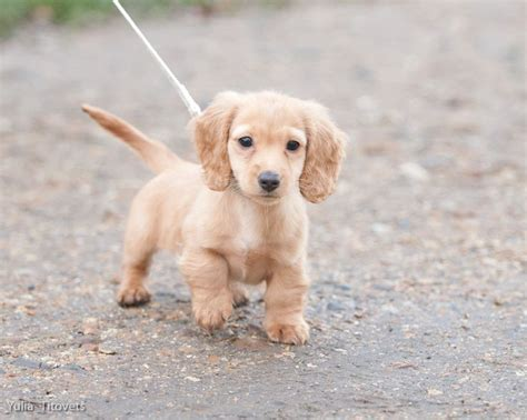 golden wiener puppies 25 best ideas about haired dachshund on haired miniature