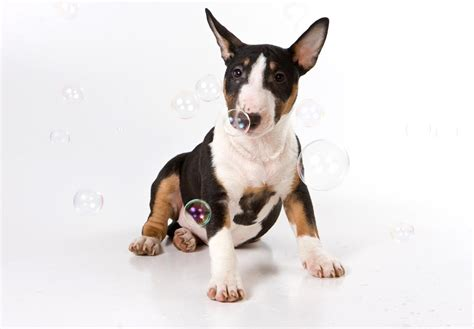 puppy bull terrier bull terrier puppies for sale akc puppyfinder