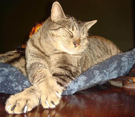 In The Claws Of The Cat fascinating facts about cat claws softpaws