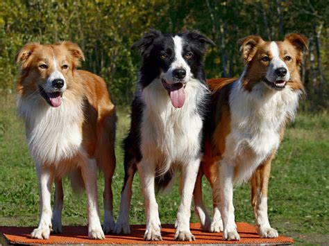 three dogs three dogs border collies wallpapers and images wallpapers pictures photos