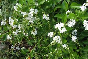 Large Flowering Evergreen Shrubs - duranta erecta alba by the gardening blog