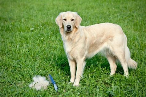 Shedding Excessively by Pin By Symionow On Dogs Health