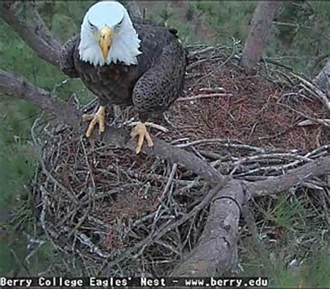 berry college eagle live kdka eagle wowkeyword
