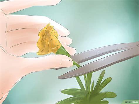 Pupuk Untuk Bunga Marigold cara menumbuhkan marigold wikihow