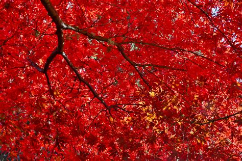 Heating Small Spaces - red japanese maple trees crimson queen bloodgood