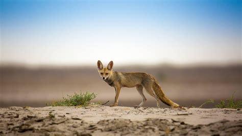 Animals Of The Thar Desert