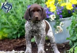 Lance german shorthaired pointer puppies for sale in pa keystone
