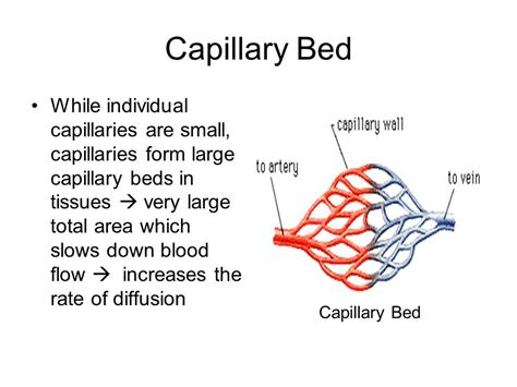 capillary beds circulatory systems in animals ppt download