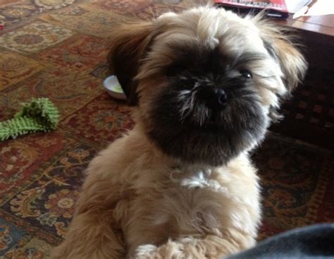 ewok puppy this shih tzu looks like an ewok from wars