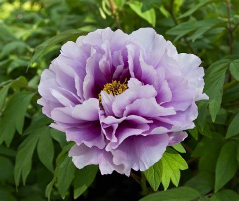 un fiore violetto fiore peonia piante da giardino caratteristiche della