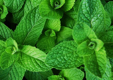 Teh Mint by Mint Discover The Magic Of Menthol