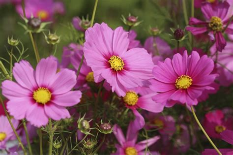 are cosmos flowers annual or perennial ehow uk