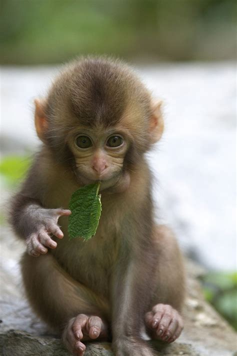 monkey wallpaper 50 and adorable baby monkey pictures