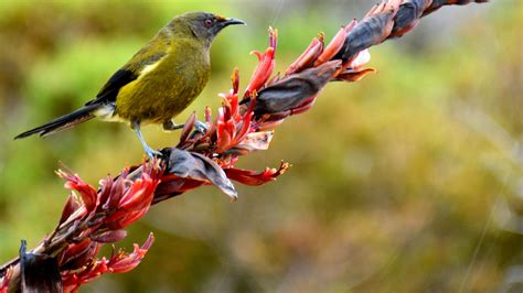 bellbird korimako new zealand native land birds
