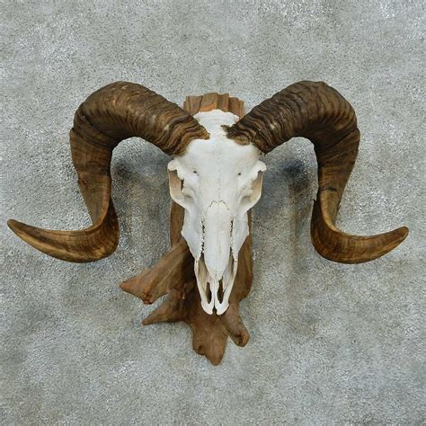 Skull Home Decor by Corsican Ram Skull Amp Horns Mount 13598 The Taxidermy Store