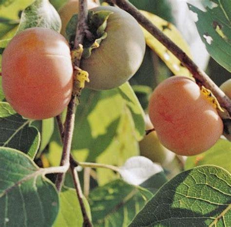 Jual Bibit Buah Buahan Langka tanaman kesemek jual tanaman hias