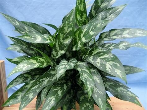 chinese evergreens chinese evergreen silver queen aglaonema silver queen