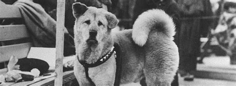 The Story Of Dogs loyal hachik蜊 true story symbol of loyalty