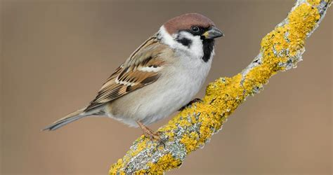 eurasian tree sparrow similar species comparison all
