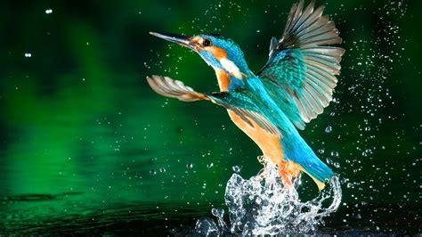 kingfisher bird hd wallpapers   p birds