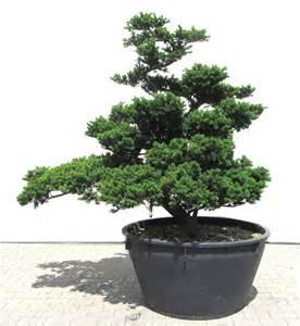 Bonsai Für Den Garten 53 by Www Japangarten De Der Gartenbonsai Shop Produkte