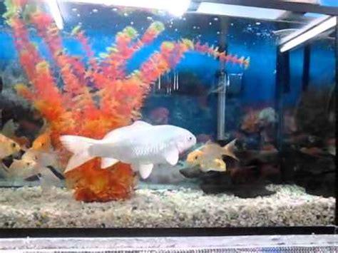 imagenes de zen koi peces carpa koi youtube