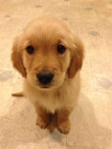 can you take a puppy home at 6 weeks 17 reasons golden retrievers are not the friendly dogs everyone says they are