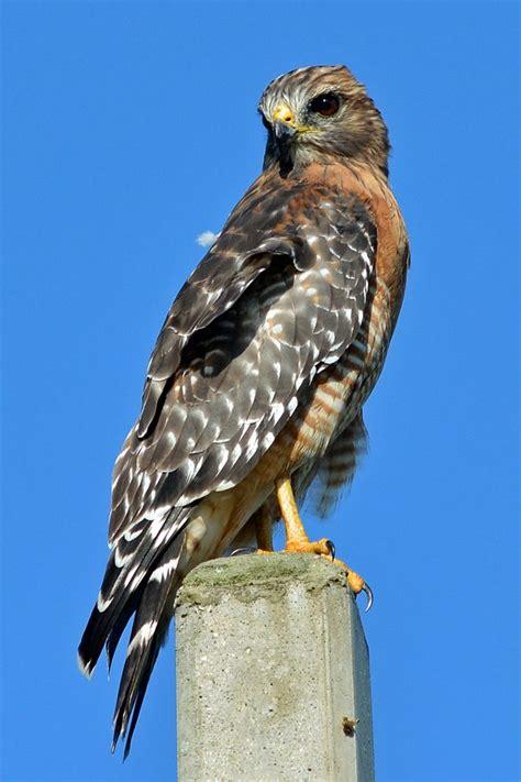 Hawk Garden Center by Shouldered Hawk Birds