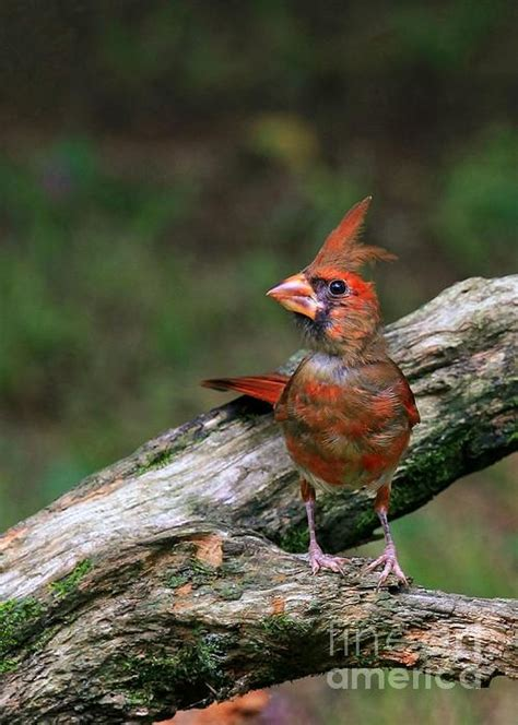 Pictures Of Baby Cardinals