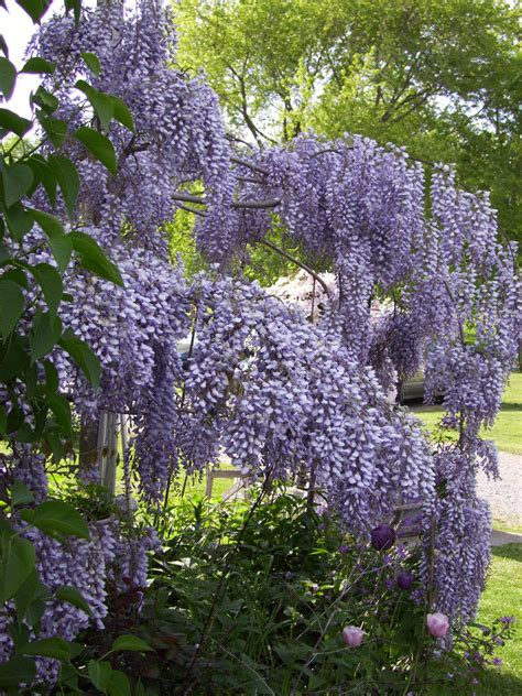 plantfiles pictures wisteria species chinese wisteria