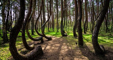 crooked forest poland the crooked forest is a strange grove of oddly bent trees