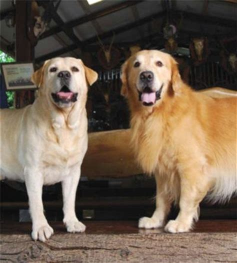 yellow lab and golden retriever yellow lab golden retriever golden retrievers and yellow labradors
