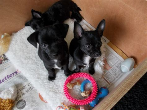 black chihuahua puppies 2 black chihuahua puppies dewsbury west pets4homes