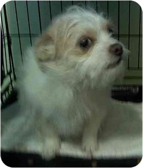 wire haired terrier shih tzu mix ready for adoption shih tzu wirehaired fox terrier mixed breeds picture