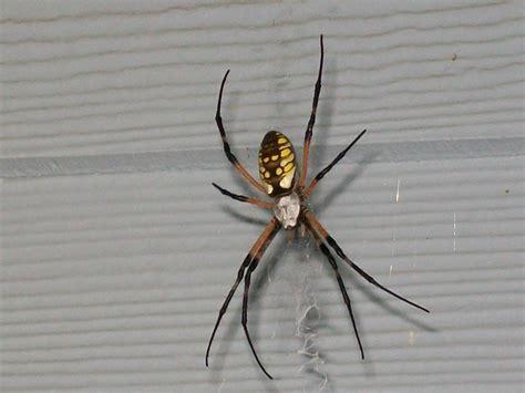 Garden Spider Black And White Yellow And Black Garden Spider By Freyjasage On Deviantart