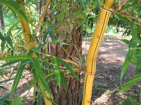 Lukisan Kaligrafi Bambu Yellow Green Plant Guide Bambusa Vulgaris Vittata