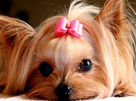 yorkies with bows quot look a pink bow think forgot again i m a boy quot terriers
