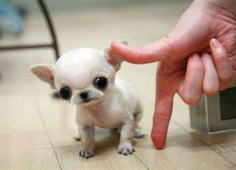 tiny chihuahua puppies chihuahua dogs puppy newhairstylesformen2014