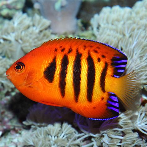 Home Decorations Online by Flame Angelfish Centropyge Loriculus For Sale Online