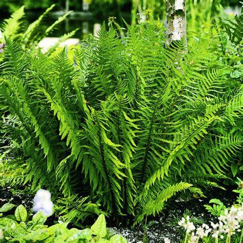 Farn Garten Pflanzen by Die Besten 17 Ideen Zu Farne Auf Farne Garten
