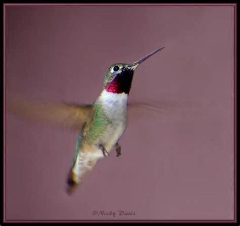 photos of utah birds broad tailed hummingbird