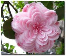 Camellia Flower Meaning - beautiful rare flowers galleryhip com the hippest