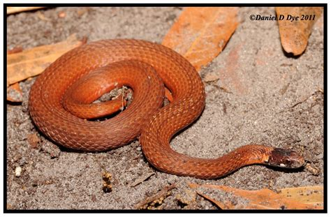 florida red bellied snake florida backyard snakes