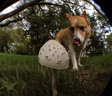 dogs eat mushrooms in your own yard dogs and poisonous mushrooms